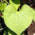 coeur feuille jardin des plantes_3427