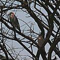 Faucon chicquera (Falco chicquera) - Etosha N.P. Namibie