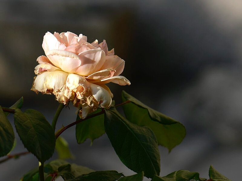 Rose au couchant 3