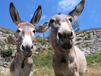 mules2