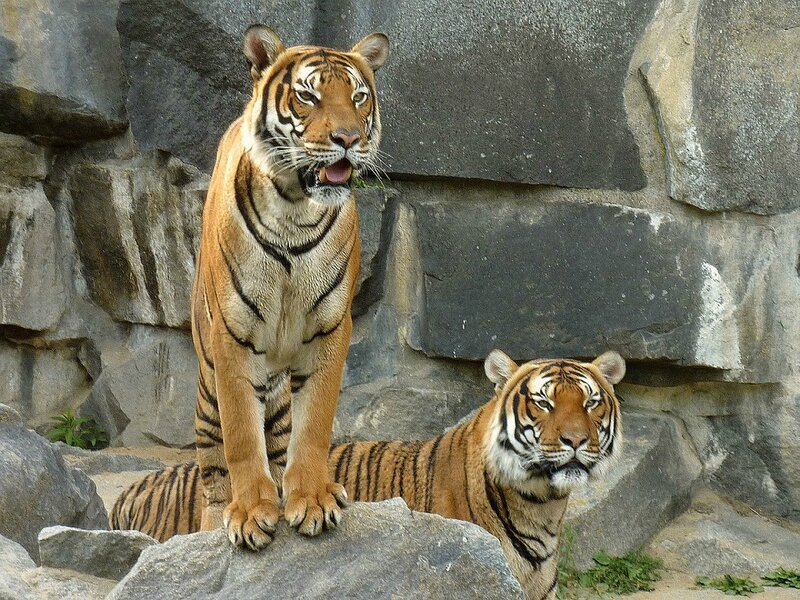 COUPLE DE TIGRES INDOCHINOIS