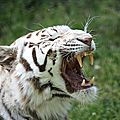 Tigre blanc zoo de pessac