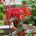 Pelargonium 'friesdorf'