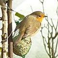 Les oiseaux au jardin de ville (suite et fin)