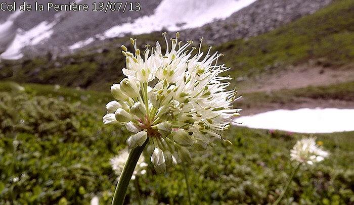inflorescence en ombelle globuleuse sans bulbilles