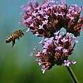 abeille à l'attaque de la verveine