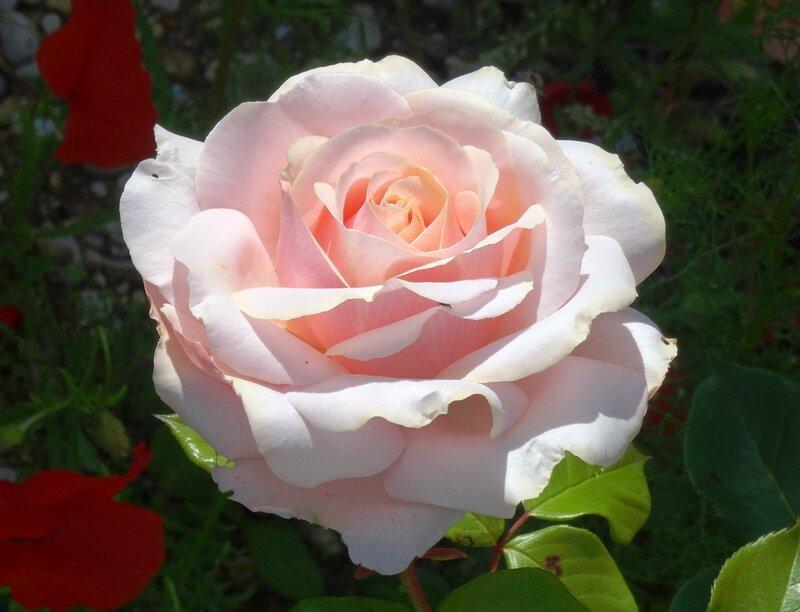 rose de willemse rose clair