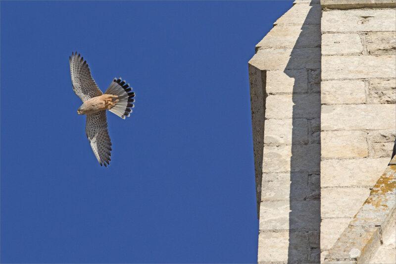 Oiseau faucon crécerelle église St Etienne 221120 8 ym