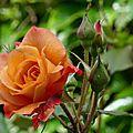 Rose 38