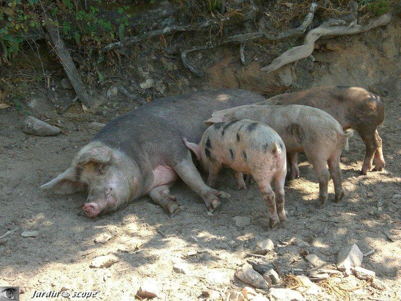 Cochons en Corse