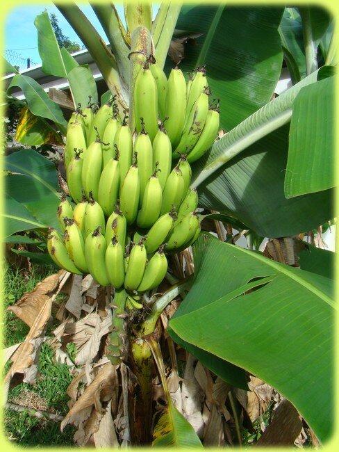 blog_bananes