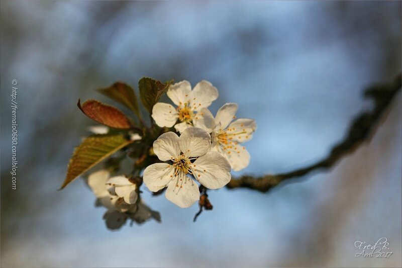 Prunus sp