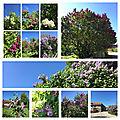 Les lilas, derniers bouquets...