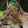 29 - Lynx