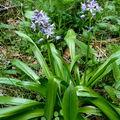 scille lis-jacinthe ou jacinthe des Pyrénées