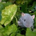Ptit béguin provençal d'une souris!
