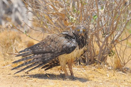 Aigle_martial__parc_de_Tsavo_Ouest__Kenya__2_