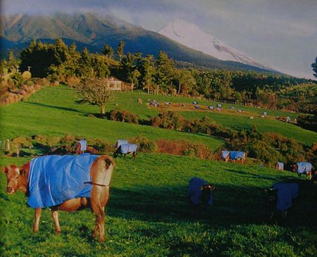 New_Zealand_cows