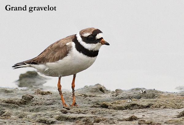 grandgravelot
