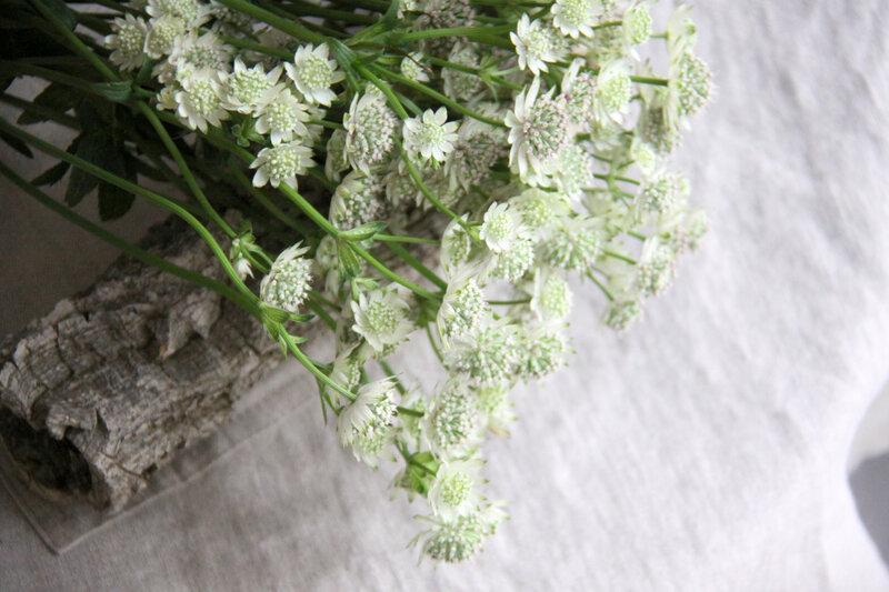 Astrentias blanches (14)