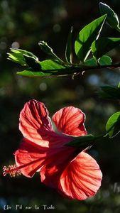 hibiscus_3