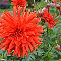 Dahlia Vulcania (Label Rouge)