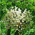 Acacia 1605165