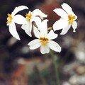 Huilli-leucocoryne appendiculata