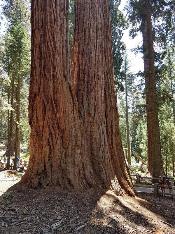 1108 sequoia1
