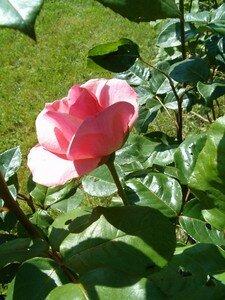 rose_de_Quaquie