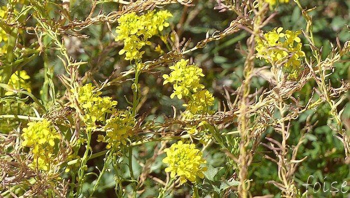fleurs jaune d'or