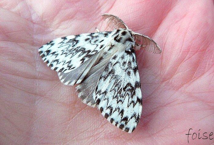 ailes antérieures blanches ornées de lignes transversales sombres