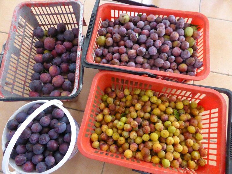 14-prunes Babette (2)