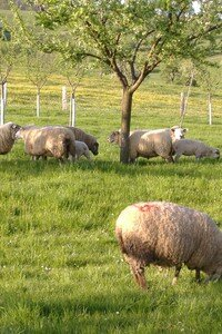 moutons___framont_2