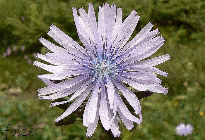 fleurs toutes ligulées à ligules bleu pâle ou mauve