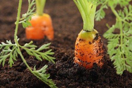 culture-carotte