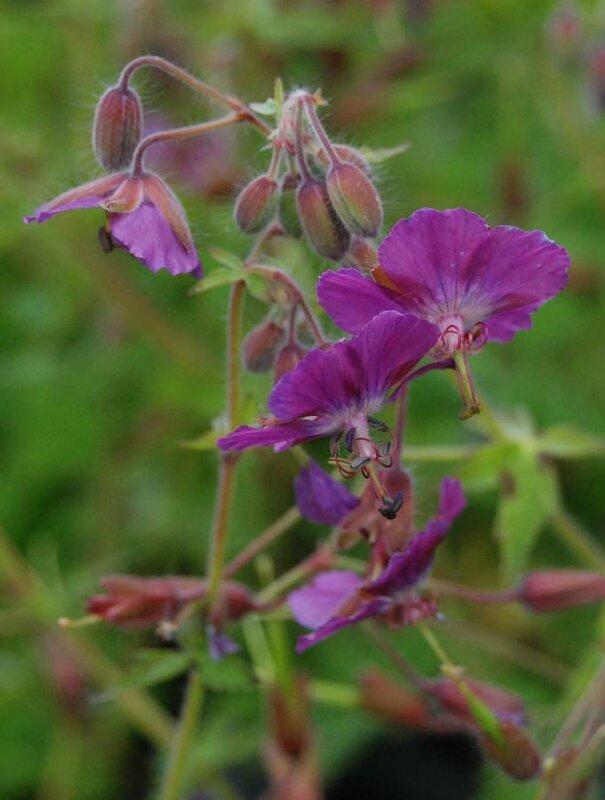 Geranium × monacense 'Claudine Dupont'