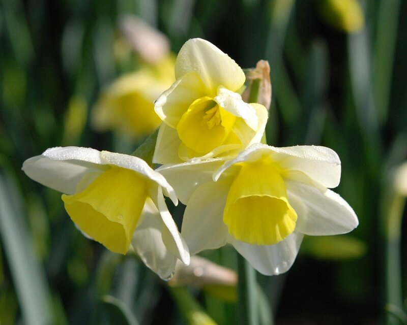Narcissus 'Silver Smiles'