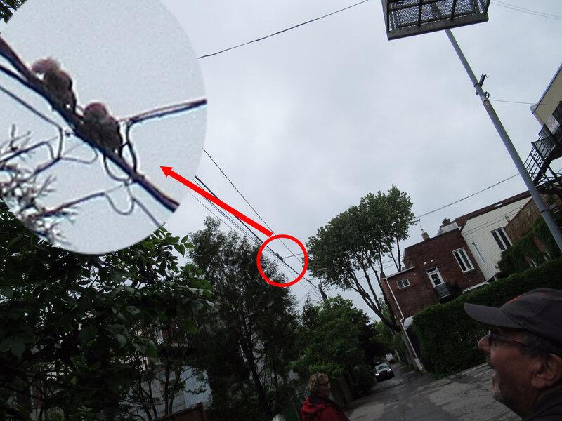 Ecureuls sur cable