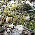 Bouchons de cèpe d'été sur allée de chênes...