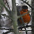 Rouge-Gorge familier • Erithacus rubecula • famille des Muscicapidae