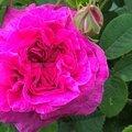 cerisette la jolie (jardin)