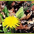 Papillon Citron sur Pissenlit 0704152