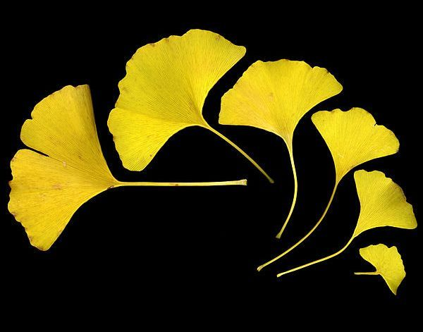 471px_GinkgoLeaves