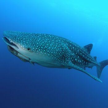 requin_baleine_plus_grand_poisson_416380
