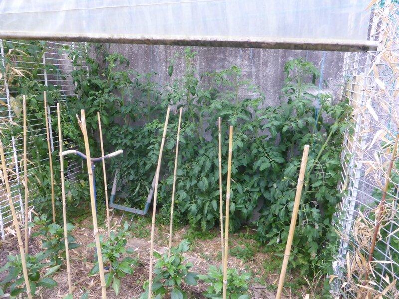 4-tomates-abris (2)