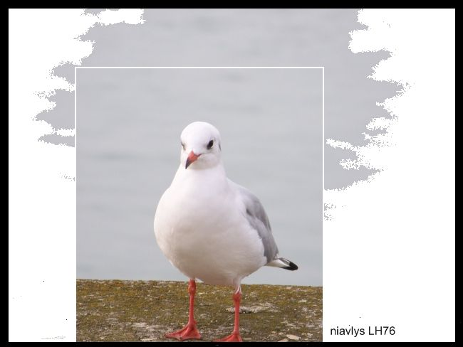 mouette rieuse 2 jpg