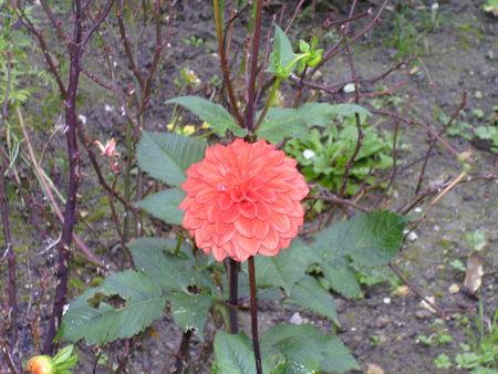 Fleur_de_Dahlia