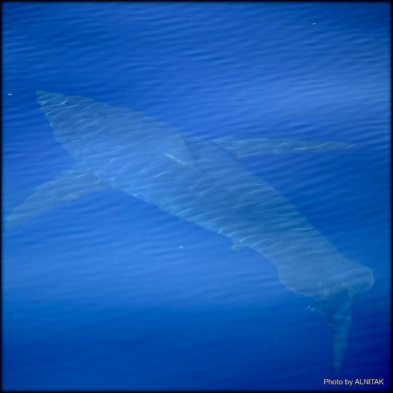 REQUIN_BLANC__5_M_BALEARES_