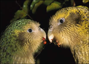 kakapo-couple